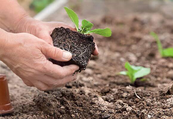 правила посадка рассады капусты