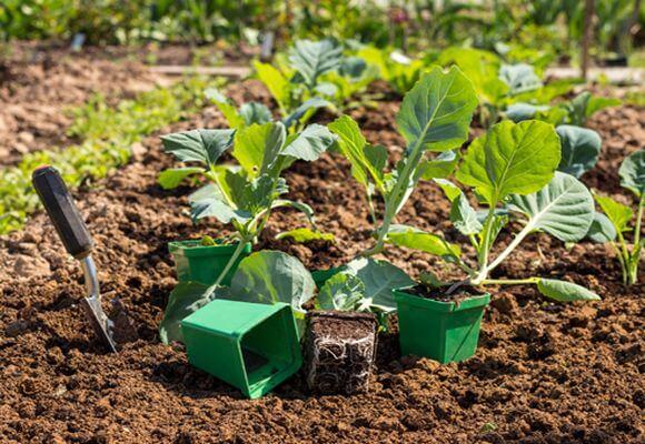 подготовка грунта перед высадкой капусты