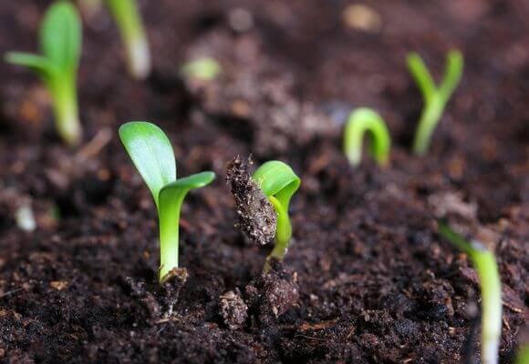 первые ростки капусты