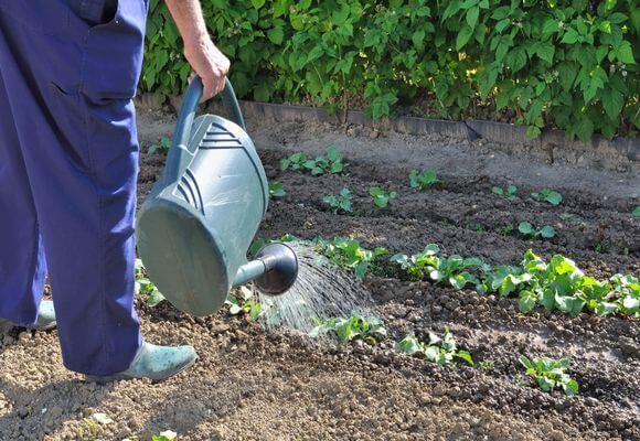 полив капусты из лейки