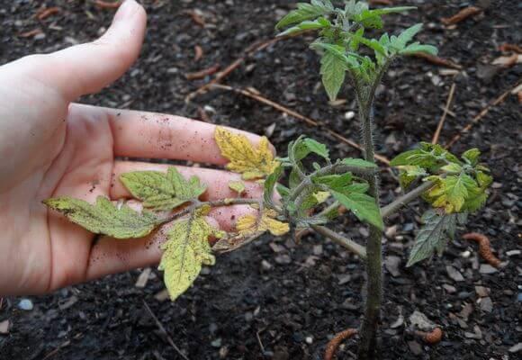 желтеют листья рассады томатов