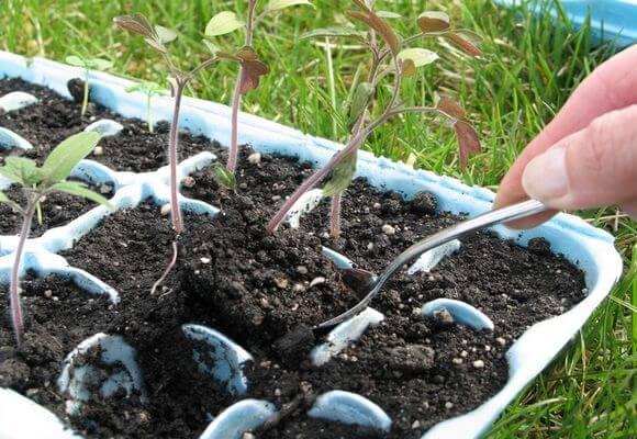 процесс пикировки рассады томатов