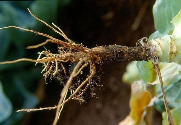 черная ножка на рассаде капусты