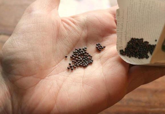 семена капусты перед посевом