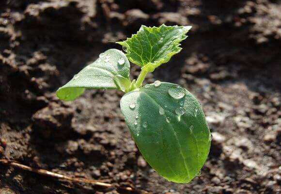 правильное выращивание огурцов в подмосковье