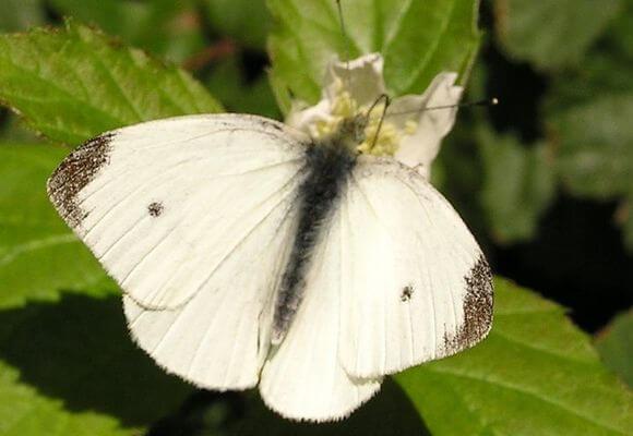 бабочка репница