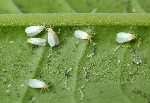 насекомое белокрылка на перце
