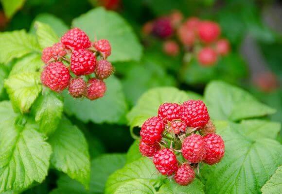 начало плодоношения ягоды