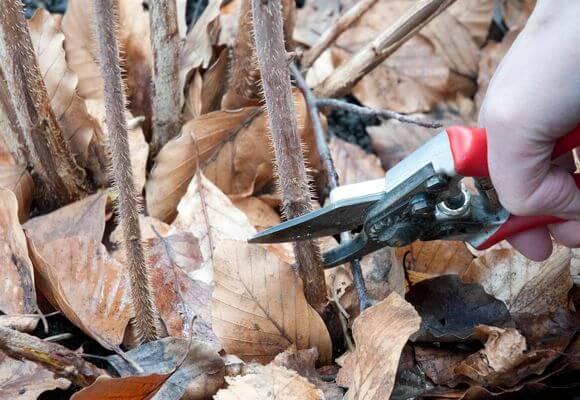 как обрезать ремонтантную малину