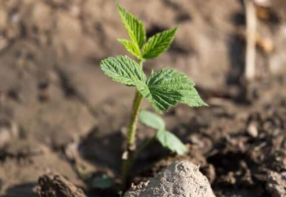 зеленые ростки