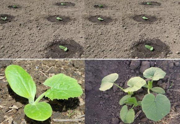 Как сажают семя кабачка 575