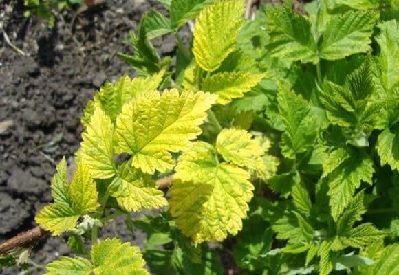 причины желтых листьев малины