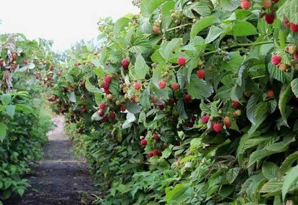 сибирские сорта малины