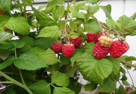 сорта ягоды для выращивания