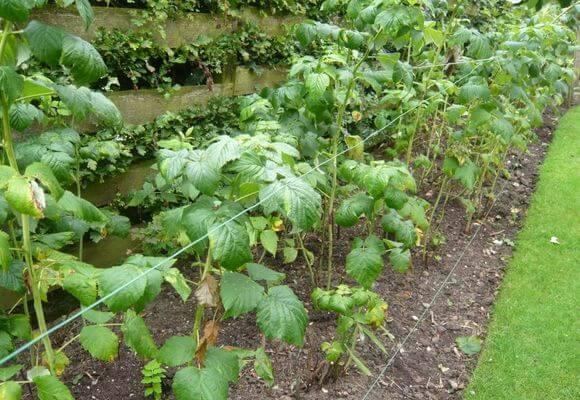 подвязка кустов ягоды