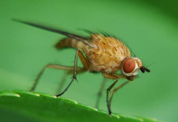стеблевая муха