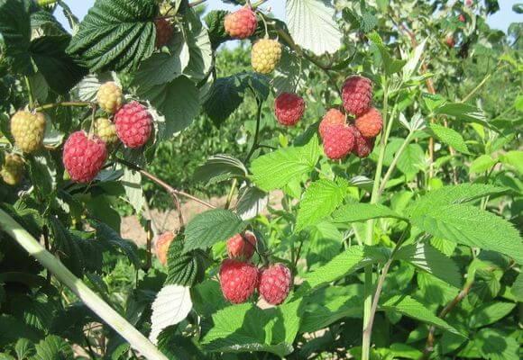 куст ремонтантной ягоды