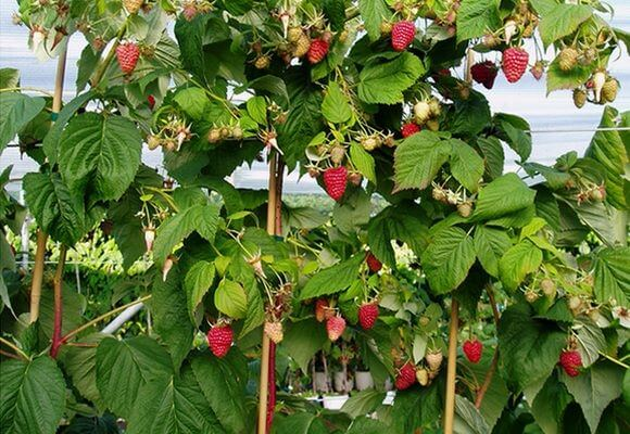 сорта штамбовой малины