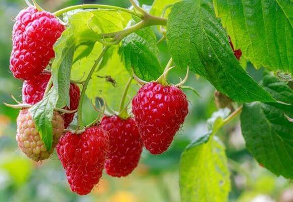 сорт ягоды