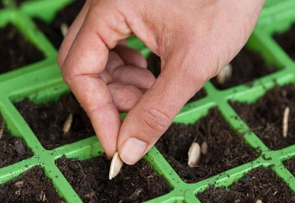 Как сажают семя кабачка 476