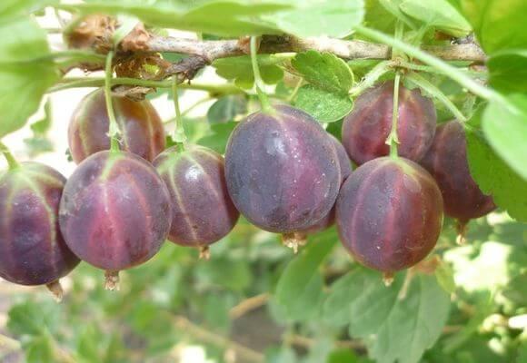 процесс созревания ягод