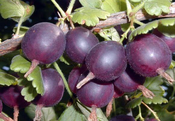 темные ягоды