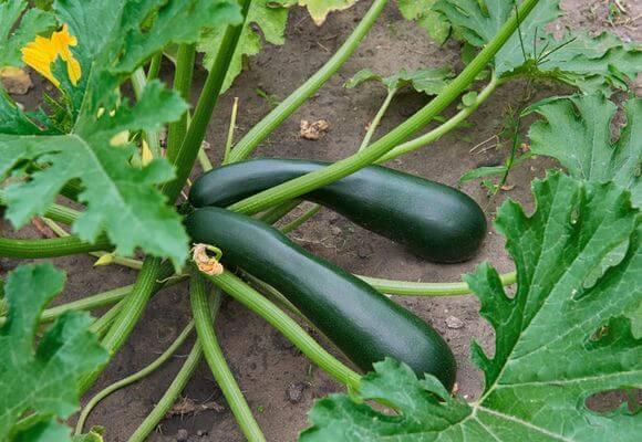 выращивание овоща на грядке
