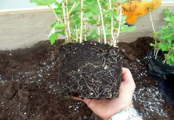 ростки кустарника