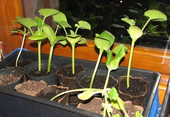 Когда сажать кабачки на рассаду? Рассада кабачков в домашних условиях