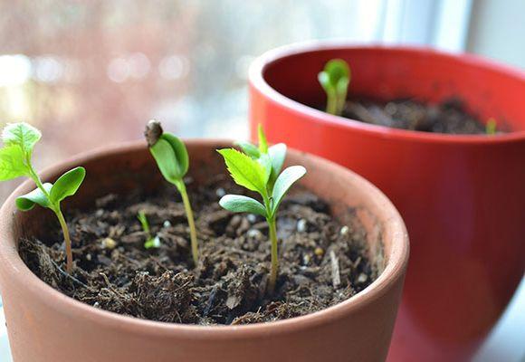 молодые ростки в горшке