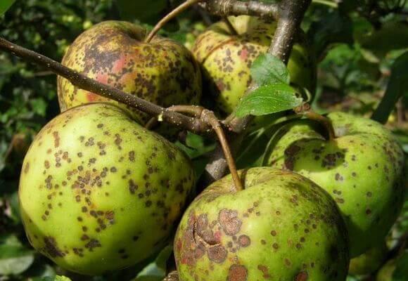 порченные яблоки