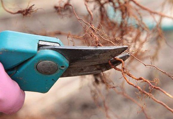 обрезка корней