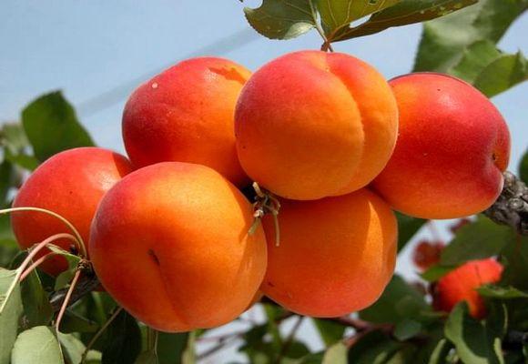 оранжевые плоды на дереве