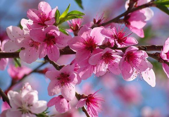 цветение плодового дерева