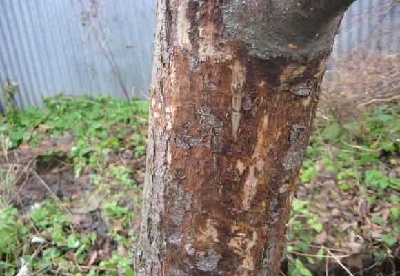 очищенный ствол дерева