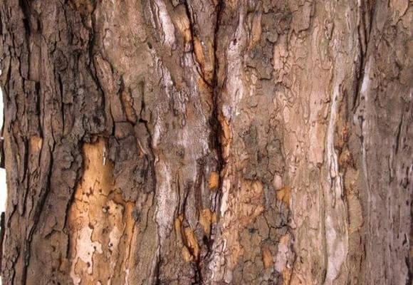 Трещины на коре груши