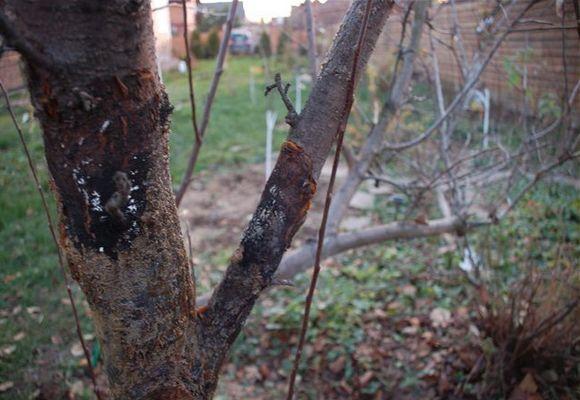 Черный рак дерева