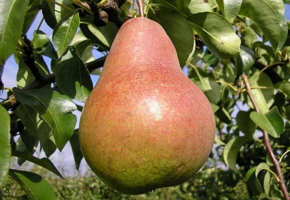 груша на дереве