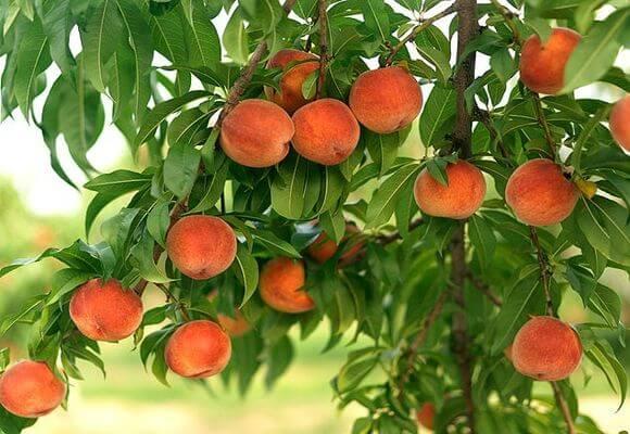 дерево с плодами