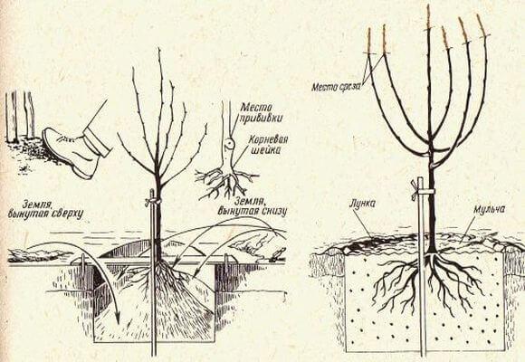 Технология посадки груши
