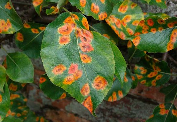 Ржавчина на листьях груши