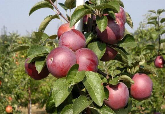 багровые плоды на дереве
