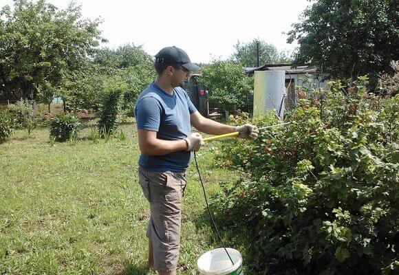 садовод опрыскивает кусты