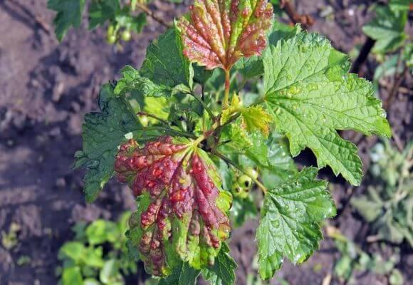 листья с красными пятнами