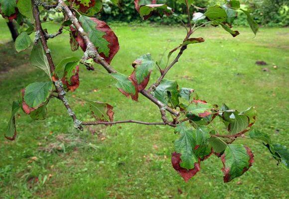 бурые пятна на листьях