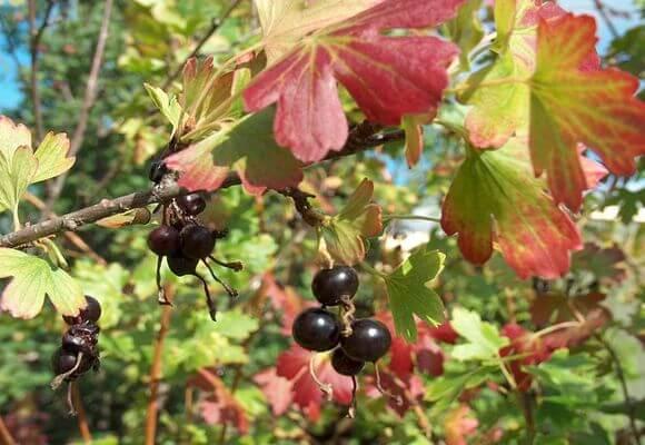 Черная смородина в осенний сезон
