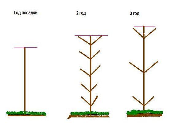 формирование колоновидной груши