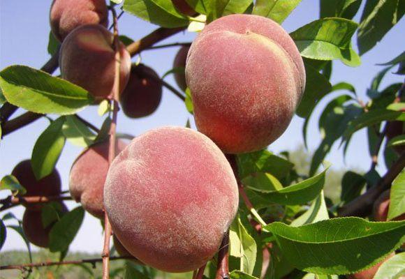 спелый фрукты на ветке