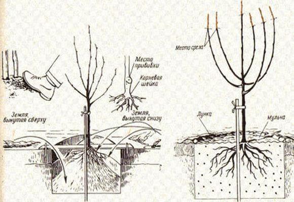 схема посадки персика