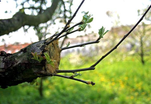 распускание листочков